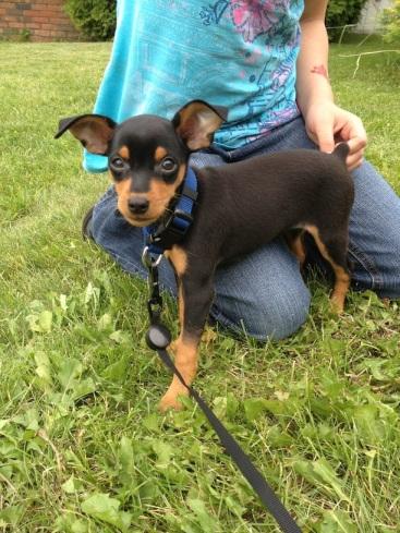 Mini Doberman Pinscher Puppies