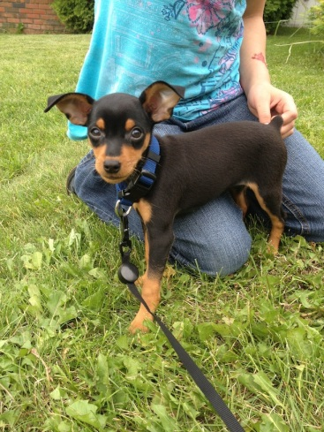 Miniature Pinscher Puppy Pic